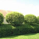 Формированная или неформованная изгородь
